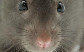 Cervello: realizzata su topi la prima mappa completa delle sinapsi
